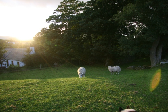 A bucolic scene at dusk, sheep grazing peacefully. But note the pair of ears pricked in the lower right. (sigh)
