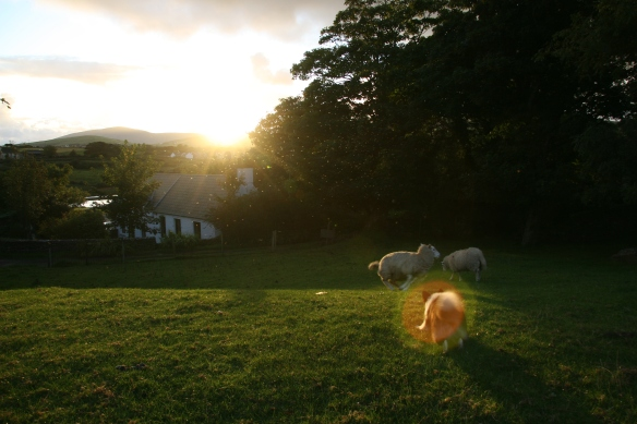 Yes, that's Benji, herding sheep, even when they don't need to be herded. :)