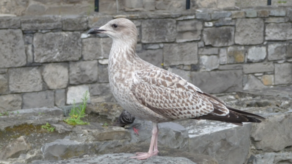 This fellow was on the low wall surrounding the cathedral, on the very busy Lord Edward Street, not concerned about the roar of the traffic (or the many tourists). I think it's a first-year (that is, juvenile) herring gull.