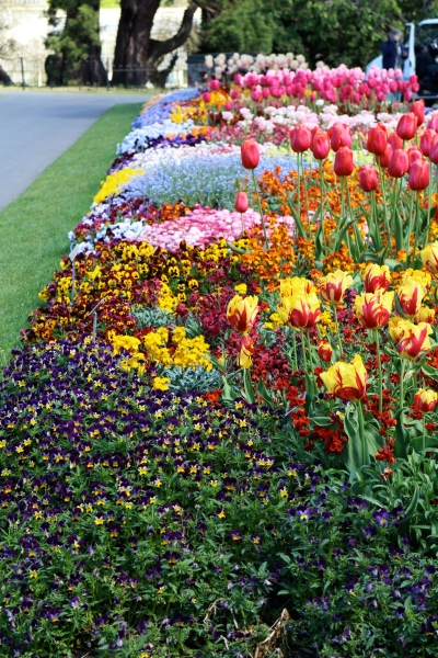 Tulips enclosed with beautiful annuals that will look good long afgter the tulips have faded.