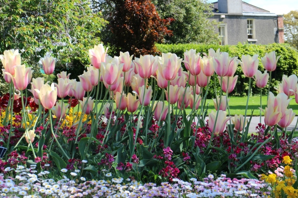 As you might guess, these were my favorites. Pink and cream tulips!