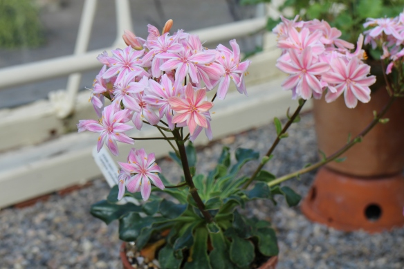 As you now know, I love a pink flower. These were in the Alpine House of the National Botanic Gardens, Dublin.