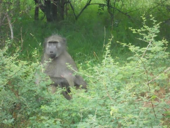 Mr. Baboon looks like he just woke up.