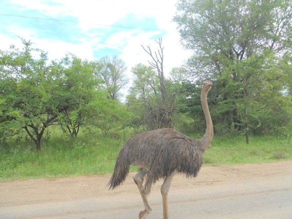 Ostrich with attitude.