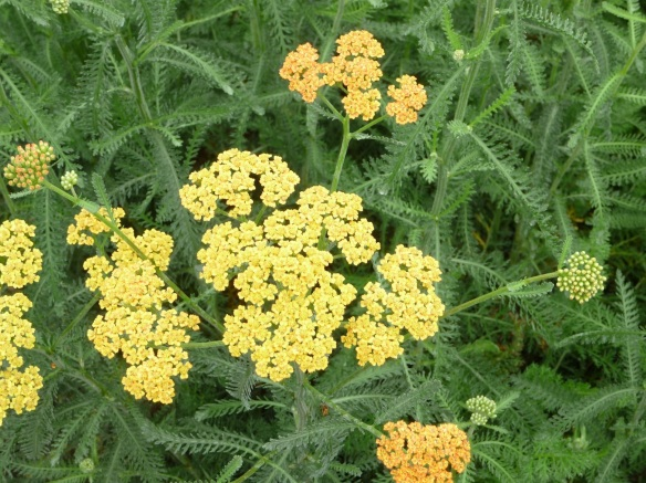Yarrow up close.