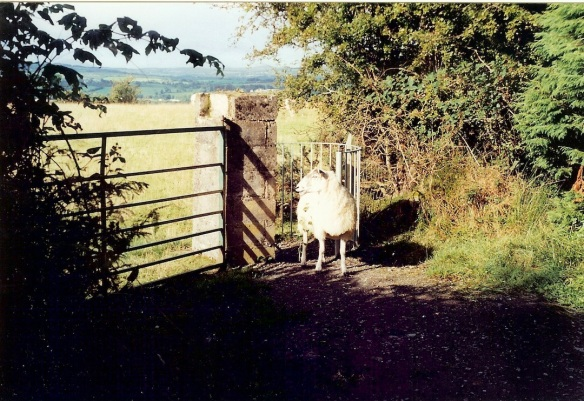 Our Stealth Sheep, in front of the kissing gate.