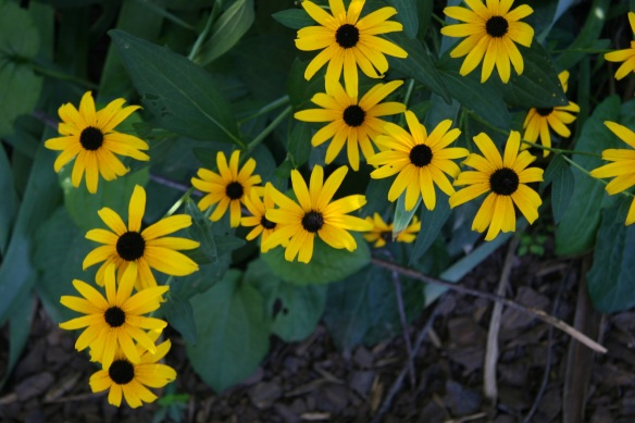 Some old faithful rudbeckias in my late summer garden.