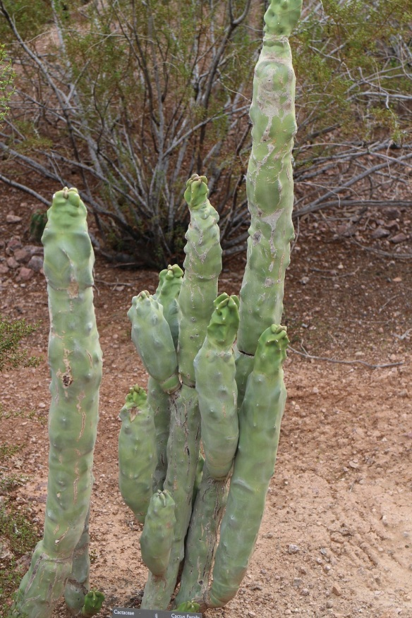 Again, this is one of those things that you just kinda wonder … was it a mistake? Did God mean to crumble the clay up and start over on this one but got distracted? This is a cactus only a mother cactus could love. :)