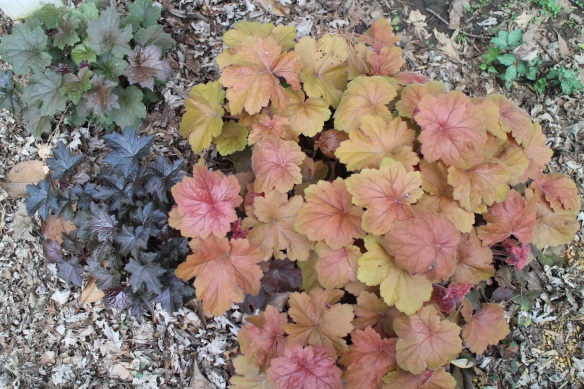 Three different kinds of coral bells.