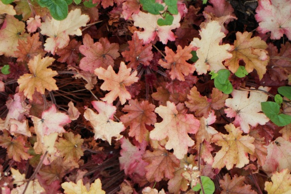 I love the variety of leaf color in this heuchera (coral bells).