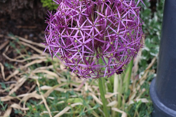 Allium—a flowering onion.