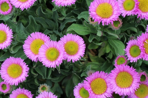 These little daisy-like flowers don't even look real, they are so perfect.