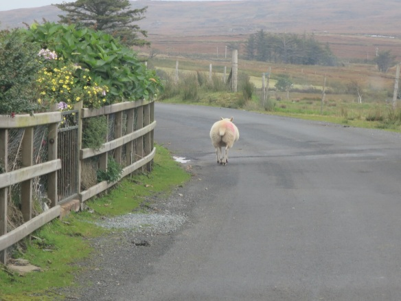 On the little road leading back to the R263. Sheep, this one rounded the corner and ran up into the farmer's yard.