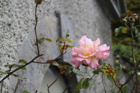 It's the last rose of S … October!
