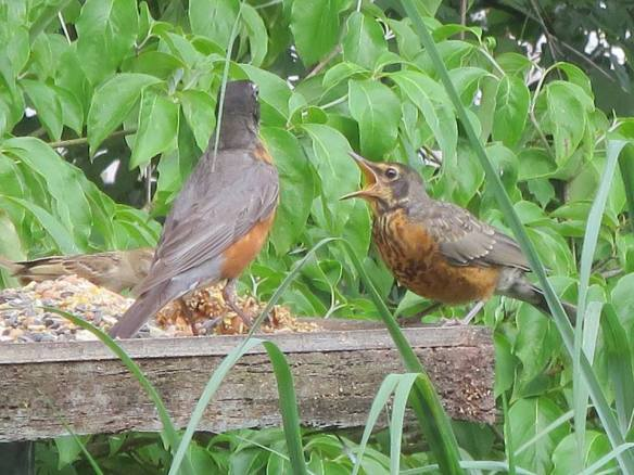 Baby robin on our backyard bird table with Mrs. R.