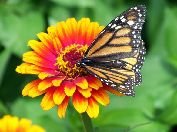 monarch_butterfly_on_flower_196546