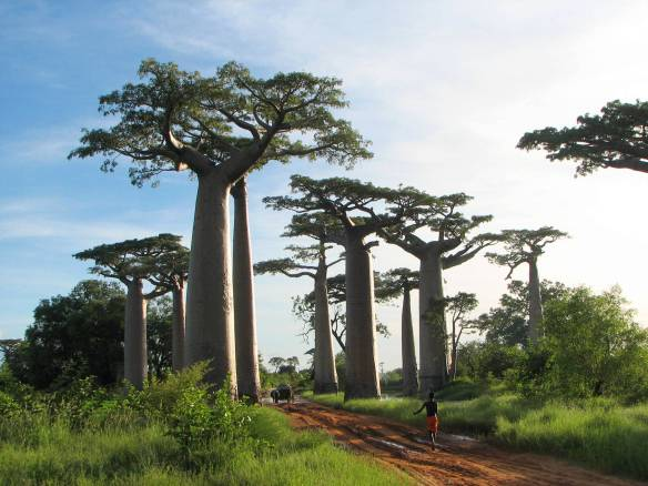 Just look at this! There are a lot of places/things I'd like to see someday … (Photo from Wikipedia. Baobab trees.)