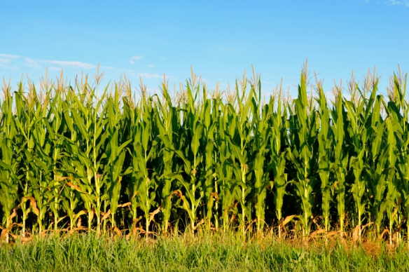 cornfield-background