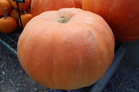 Even this classicly shaped pumpkin—a Giant Cinderella—has a hint of pink in it.