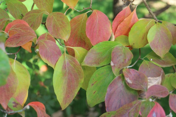 Here, the backyard dogwood tree has just begun to turn.
